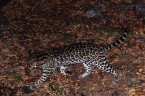 Recent image of the ocelot taken in the vicinity of the proposed Rosemont mine.